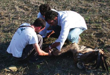 Tres personas toman muestras de un buitre leonado que murió tras colisionar con un aerogenerador en la zona del Estrecho (foto: Antonio Román Muñoz).