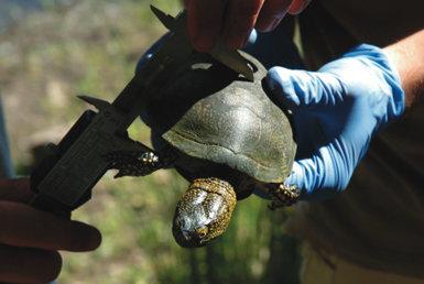 Unos naturalistas miden con un pie de rey el caparazón de un galápago europeo capturado para su marcaje en la provincia de Málaga (foto: Jesús Duarte).