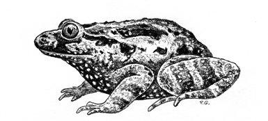 Sapillo pintojo de vientre negro (Discoglossus nigriventer). Dibujo de Pedro Galán a partir de una foto tomada por Heinrich Mendelssohn del ejemplar tipo descrito en 1943. Pude apreciarse la extraña pigmentación de la zona ventral, negra con puntos blancos.
