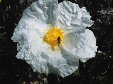 Sobre estas líneas, un sírfido (díptero que imita el aspecto de una avispa) posado en la flor de una jara pringosa (foto: Alberto Aparicio).