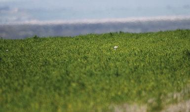 Dos avutardas semiocultas en un cultivo y reflejan la dificultad de los censos primaverales de esta especie (foto: Ángel Sánchez).