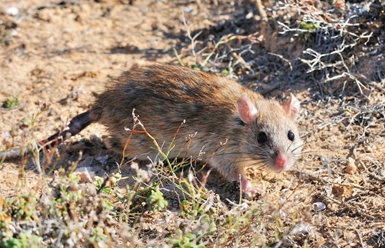 Ejemplar de rata negra (Rattus rattus), principal especie a erradicar de Sa Dragonera (foto: Miguel McMinn)