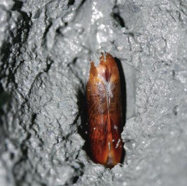 Bivalvo de la familia Solemydae entre los sedimentos cargados de gas del volcán Anastasya (foto: Miguel García-Muñoz).
