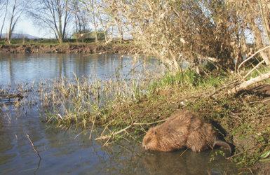 Ejemplar de castor en un tramo de riberas muy deterioradas del río Ebro (foto: Tragsatec).