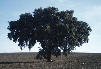 Encina próxima al pueblo de Huecas. El ejemplar más próximo de la misma especie se encuentra a dos kilómetros de distancia.