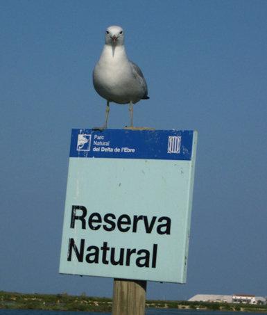 Ejemplar de gaviota de Audouin posado en uno de los carteles que delimitan la Reserva Natural Parcial de la Punta de la Banya (foto: Albert Bertolero).