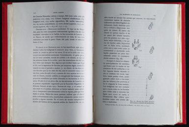 Páginas dedicadas a una subespecie de chacal descrita por Ángel Cabrera en su obra Los mamíferos de Marruecos (1932). Este cánido, que viviría en la parte occidental de Marruecos, fue denominada Canis lupaster maroccanus.
