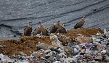 Buitres leonados concentrados en el interior del vertedero de residuos sólidos urbanos de Apario, en el término municipal de Igorre (Vizcaya).
