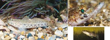 En la foto principal, gobio anémona (Gobius bucchichi), uno de los endemismos más abundantes del Mediterráneo español. Abajo, a la derecha, un fartet (Aphanius iberus), paleoendemismo mediterráneo adaptado a vivir en ambientes hipersalinos. Arriba, a la derecha, gobio poroso (Gobius geniporus) depredando sobre un pequeño gobio jaspeado (Pomatoschistus marmoratus); ambas especies son también endémicas del Mediterráneo.