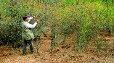Un entomólogo busca huevos de mariposa topacio en un endrinal del suroeste de la Comunidad de Madrid. El endrino es la planta nutricia de este lepidóptero.