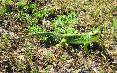 El lagarto ocelado es una de las especies de reptiles generalistas que han colonizado rápidamente el Corredor Verde del Guadiamar (foto: Rocío Márquez).