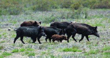 Piara de jabalíes en la marisma de Doñana. Las densidades muy elevadas de este mamífero pueden tener consecuencias adversas para la conservación y para la sanidad (foto: C. Gortázar / IREC).