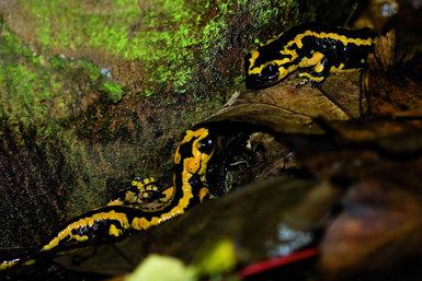 Las salamandras se aparean durante los días húmedos del otoño, de manera que sus encuentros e interacciones son frecuentes en las fechas actuales.