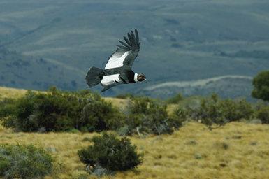 Los cóndores adultos de ambos sexos tienen una coloración dorsal muy contrastada. La amplia banda blanca que forman las plumas cobertoras y secundarias permite localizarlos a larga distancia (foto: Manuel de la Riva).