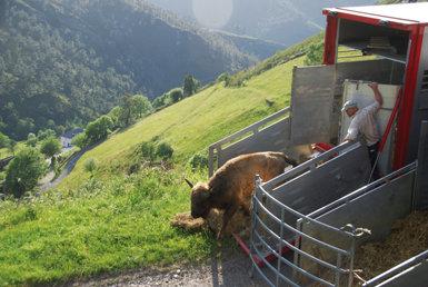 Un bisonte europeo es soltado en una finca del concejo de Villayón (Asturias), que ha sido seleccionada como uno de los puntos de liberación de la especie en España (foto: Centro de Conservación del Bisonte Europeo).