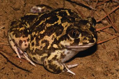 Incendios forestales: ¿una amenaza también para los anfibios y reptiles?