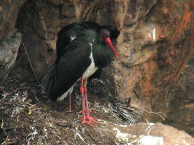 La cigüeña negra Choni en su nido habitual del Parque Nacional de Monfragüe (Cáceres) en 2011, última temporada en la que fue observada, con una edad de 21 años (foto: Eva Palacios).