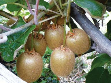Historia natural del kiwi y otras especies del género ACTINIDIA
