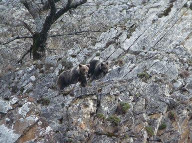 Los osos cantábricos continúan creciendo