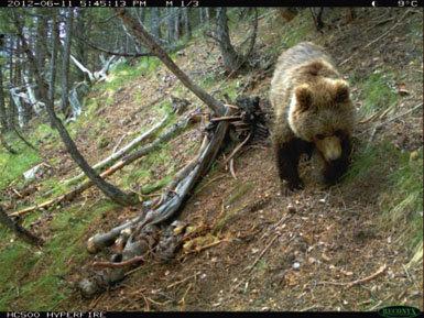 La población de  osos de los Pirineos  sube poco a poco