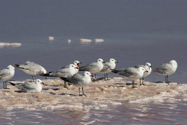 La gaviota de Audouin y sus depredadores:  una convivencia  nada sencilla