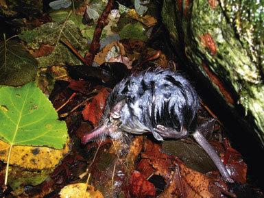 Conservar al  desmán ibérico:  un reto pendiente