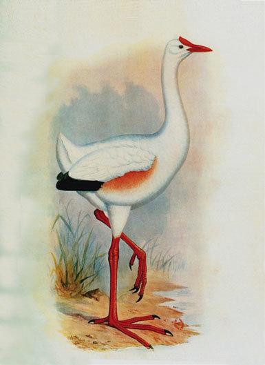 Leguatia gigantea:  el ave que nunca existió