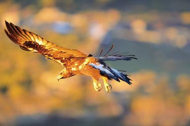 Crece la competencia  entre águilas reales  y perdiceras en  Andalucía