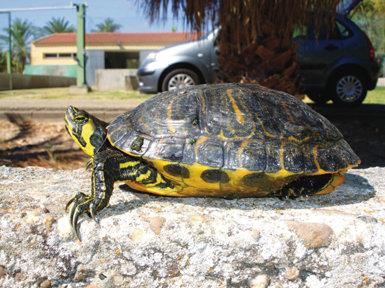 El galápago de Florida es una de las especies objetivo del proyecto LIFE+ Invasep (foto: LIFE+ Invasep).