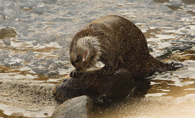 Nutria sacudiéndose el agua después de una inmersión. Mantener el pelaje en perfecto estado es fundamental para las nutrias, en especial para las que se sumergen en agua marina.