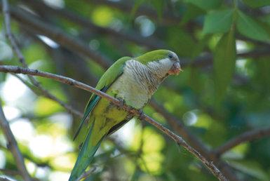 La cotorra argentina es el ave exótica invasora que más preocupa a los gestores de la conservación en España, según los resultados de la encuesta (foto: José Luis Tella).