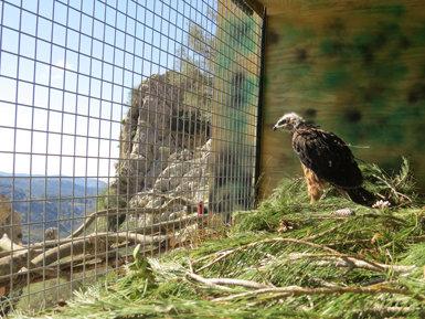 Un joven de águila de Bonelli, en un jaulón instalado en la sierra de Tramuntana (Mallorca), donde este ejemplar va a ser reintroducido (foto: GREFA).