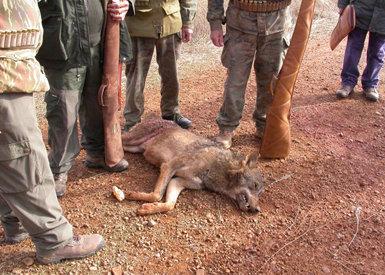 Lobo (macho adulto) muerto en una cacería autorizada en la comarca de Tierra de Campos en noviembre de 2008.