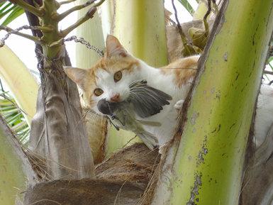 Un gato asilvestrado lleva en la boca un ejemplar de gerigón melanesio (Gerygone flavolateralis) recién capturado, en la isla de Los Pinos (Nueva Caledonia, Oceanía). Foto: Fabrice Brescia / Institut Agronomique néo-Calédonien.