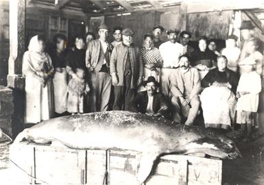 Foca monje capturada en una almadraba en Cala Fornells (Mallorca) en mayo de 1922. La foto original se conserva en el Laboratorio Oceanográfico de Palma.