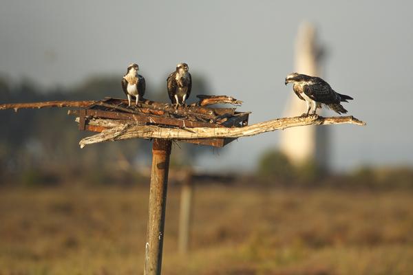 Tres águilas pescadoras jóvenes de origen alemán, reintroducidas en 2008 en las marismas del Odiel (Huelva), comparten uno de los cebaderos artificiales situados en la zona de suelta (foto: José Luis Ojeda).