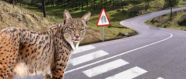 Este montaje fotográfico realizado por WWF España recuerda la necesidad de adoptar medidas urgentes en los puntos negros de atropello de lince ibérico.