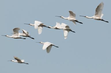 Un grupo de espátulas en vuelo durante la migración post-nupcial (foto: Rubén Rodríguez Olivares).