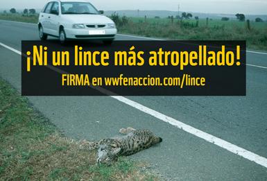 WWF España nos pide ayuda para atajar los atropellos de lince ibérico