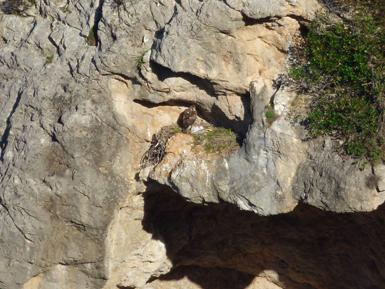 Bel, la hembra de la pareja de águila de Bonelli que ha criado en la Sierra de Tramuntana (Mallorca) permanece en el nido tras aportar una gaviota para cebar a su pollo (foto: Ernesto Álvarez / GREFA).