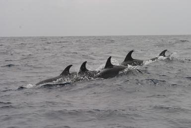 Un grupo de delfines mulares nada enfilado en aguas de la isla canaria de Lanzarote (foto: SECAC).