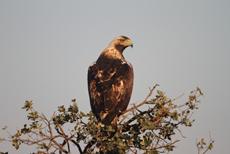 Águila imperial posada en una encina. El impacto del diclofenaco sobre las rapaces del género Aquila preocupa a los especialistas (foto: Ángel Sánchez).