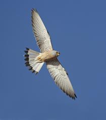 Silueta en vuelo de un ejemplar macho de la especie (foto: Ignacio Yúfera).