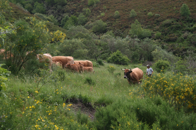 Vacas en régimen extensivo en una zona de pastos arbolados situada en la comarca de Los Ancares (foto: Pedro M. Herrera).