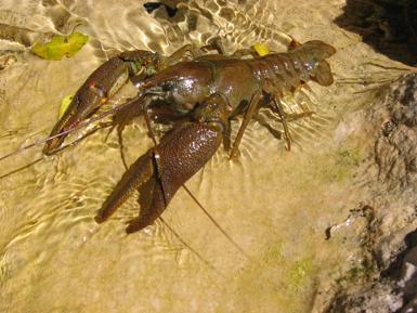 Macho de cangrejo de río ibérico en su hábitat, un símbolo de nuestros ecosistemas fluviales cuya condición autóctona es objeto de debate (foto: Francisco Javier Galindo).