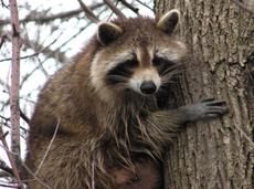 Hembra de mapache encaramada a un árbol. Este pequeño carnívoro de origen americano se ha asentado en numerosos espacios naturales españoles (foto: Gordon Robertson / Wiki Commons)