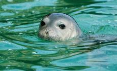Hembra adulta de foca monje de la colonia norteafricana de Cabo Blanco (foto: Michel Cedenilla).