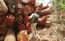 Un miembro de Greenpeace inspecciona varios troncos de árboles con sospechas de haber sido talados ilegalmente en la Amazonia brasileña (foto: Daniel Beltra / Greenpeace).