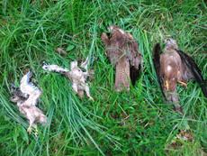 Cadáveres de los cuatro milanos negros –dos alultos y dos pollos– envenenados en Álava (foto: Naturayala).