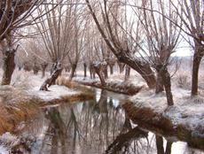 Magnífica concentración de chopos cabeceros a orillas de un río, en la provincia de Teruel.